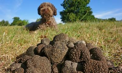raccolta-tartufi-cane